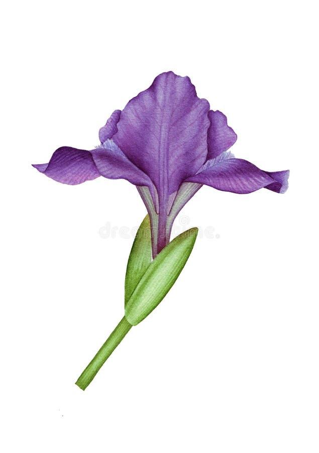 Waterverfillustratie met violette iris royalty-vrije stock afbeelding