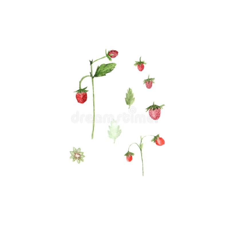 Waterverfillustratie van aardbeien op wit wordt geïsoleerd dat royalty-vrije illustratie
