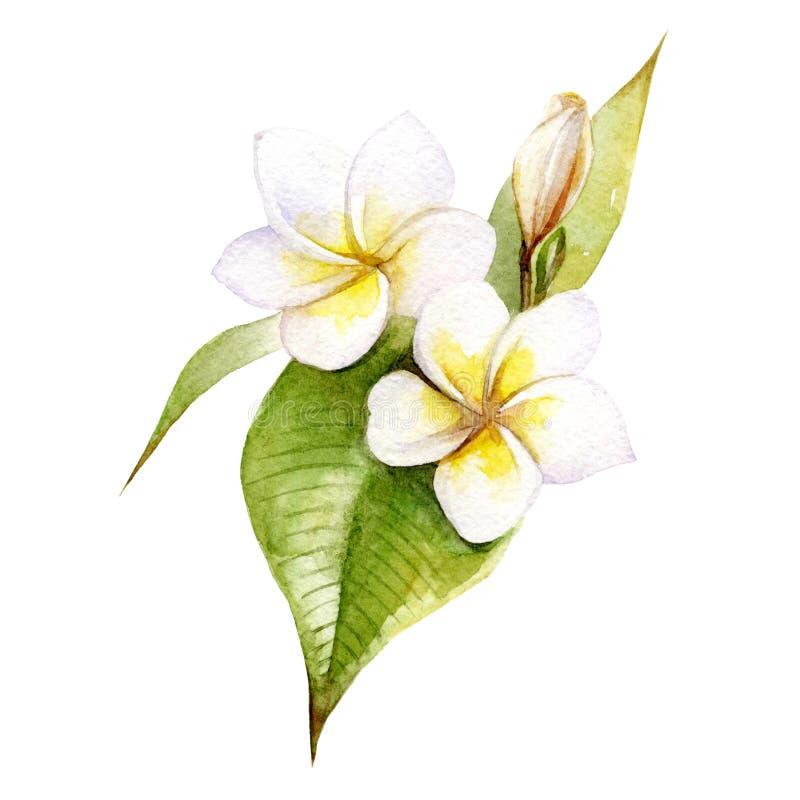 Waterverfillustratie van bloemen en plumeriabladeren op een witte achtergrond royalty-vrije stock foto's