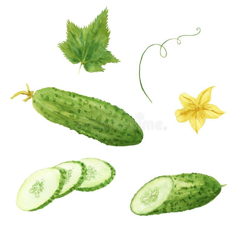 Waterverfreeks van groene verse die komkommergroente op witte achtergrond wordt geïsoleerd stock illustratie