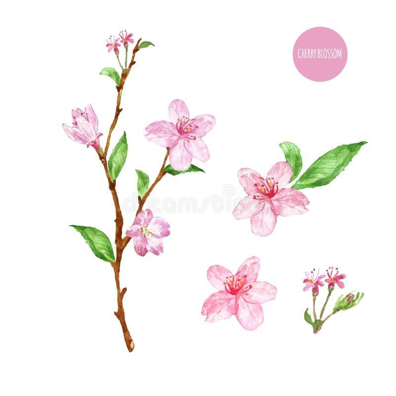 Waterverftak van sakuraboom met roze die bloemen en bladeren, op witte achtergrond wordt geïsoleerd Hand geschilderde de lenteil royalty-vrije illustratie