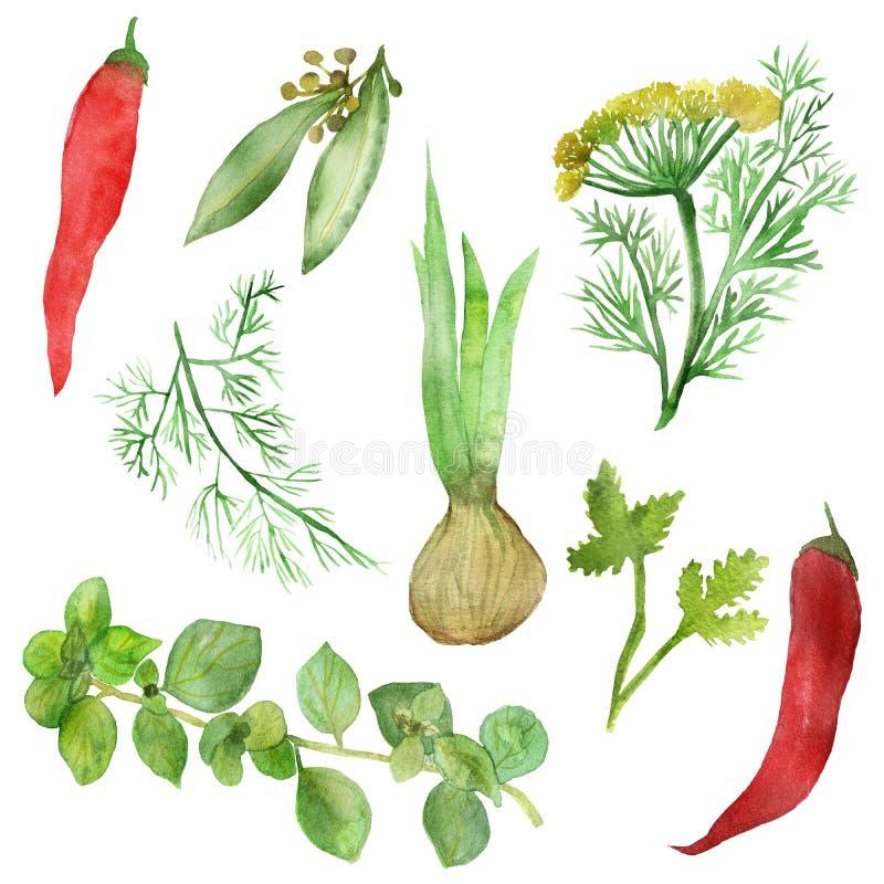 Waterverftekening van kruidige installaties en vruchten Kruid-kruiden en kruiden: Laurier, Basilicum, koriander, rozemarijn, pete stock illustratie