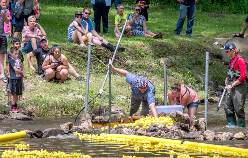 Picking a winner at a duck race. Watervliet MI USA june 30 2019; toy ducks float down a river to the finish line, where a group of workers pick the winning ducks royalty free stock photos