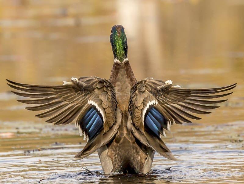 Watervogels stock fotografie