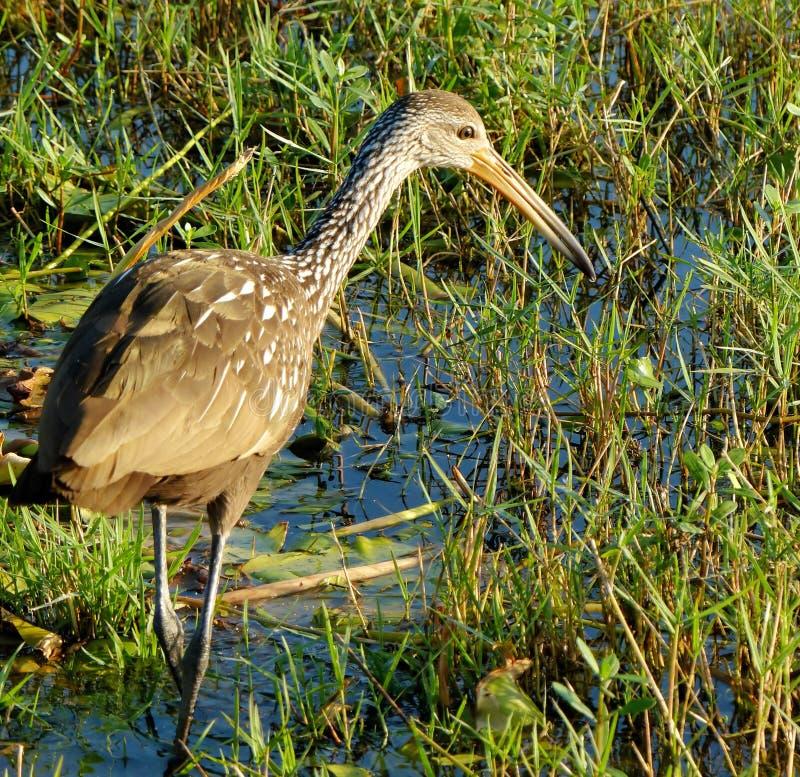 Watervogels die in moerasland jagen royalty-vrije stock afbeelding