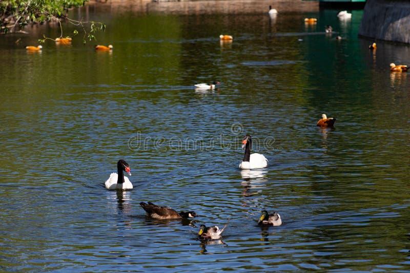 Watervogels op de vijver in het park royalty-vrije stock afbeelding