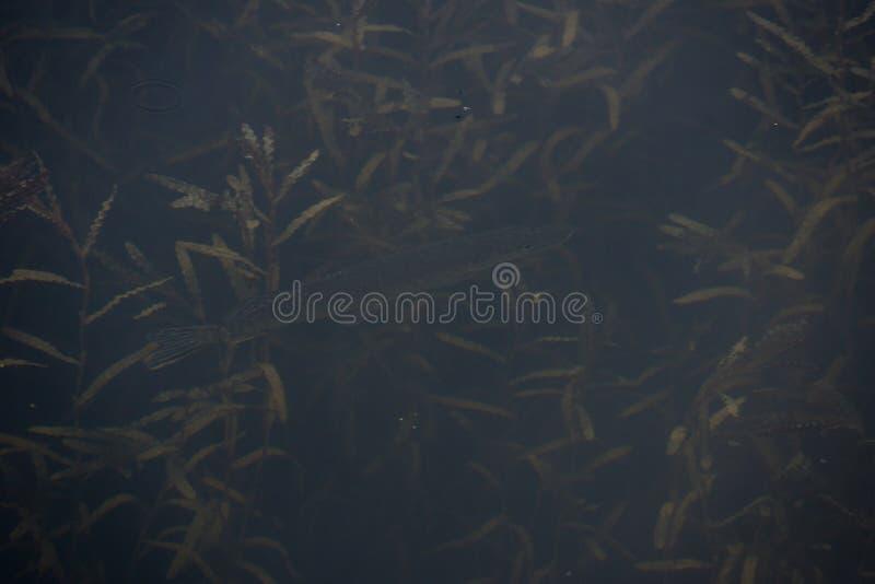 Waterweeds zdjęcia stock