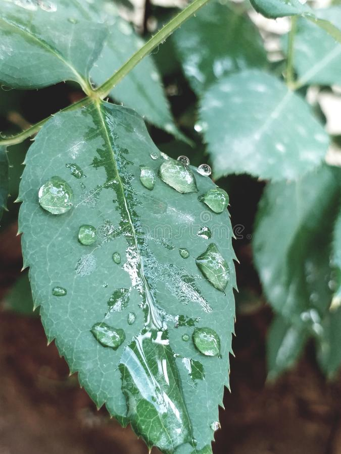 Watery leaf. Simple tweet with watery sweet leaf stock photography