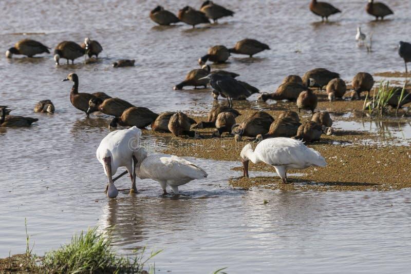 Wather birds in Lake Manyara royalty free stock image