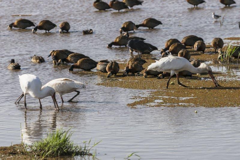 Wather birds in Lake Manyara royalty free stock photos
