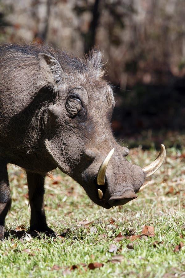 Wathog - lo Zimbabwe immagine stock libera da diritti