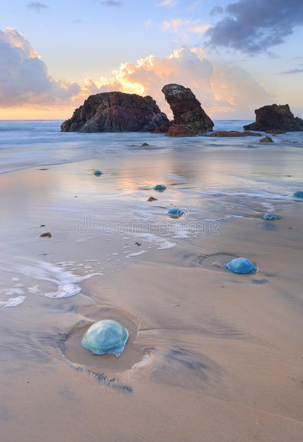 Watongo Rocks and blue Jelly Blubber jellyfish. Thousands of blue jelly blubber jellyfishes ranging from small egg size to dinner plate sizes washed ashore with stock image