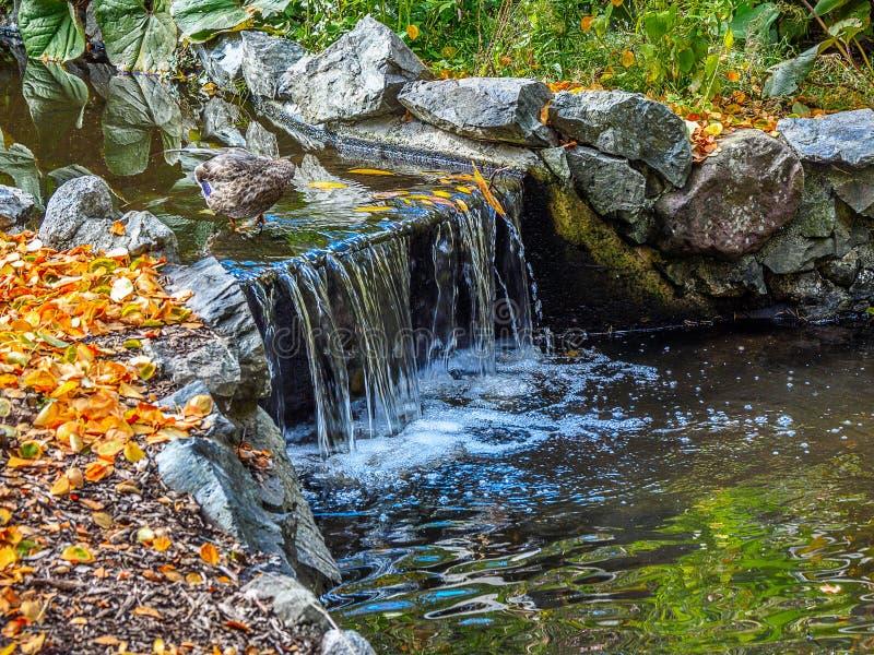 Watrestream podczas jesień sezonu w jawnym Beacon Hill parku zdjęcia stock