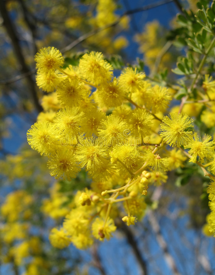 Wattle australiano imagem de stock