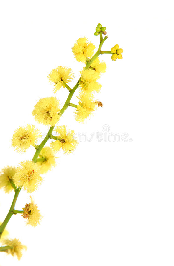 Wattle - close up globular da inflorescência imagens de stock