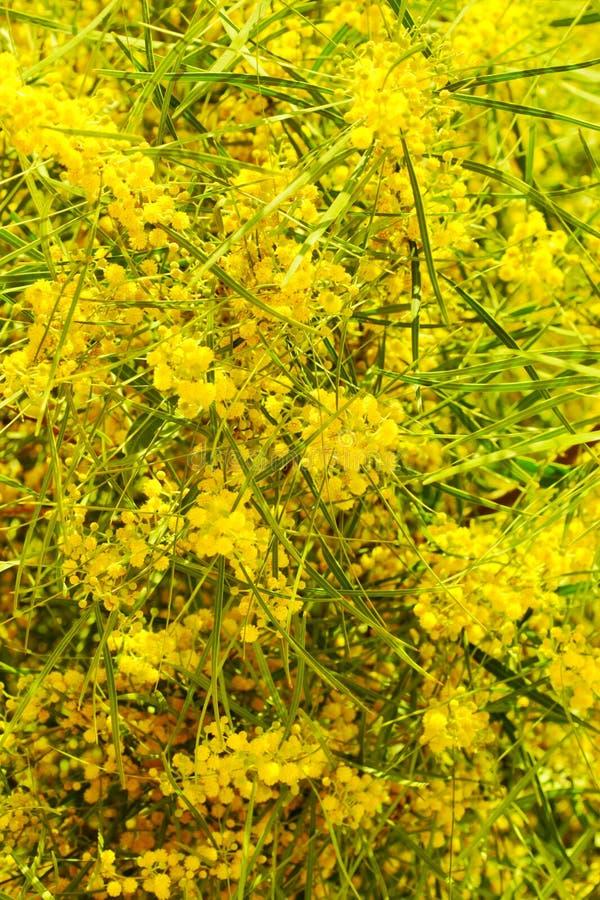 Wattle de florescência imagem de stock
