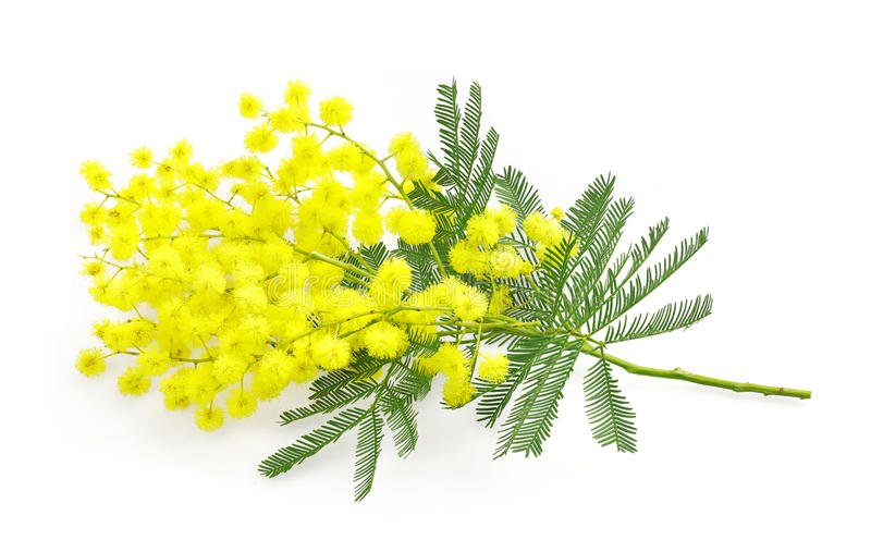 Wattle flower or mimosa branch, symbol of 8 march, women international day, on white royalty free stock photography