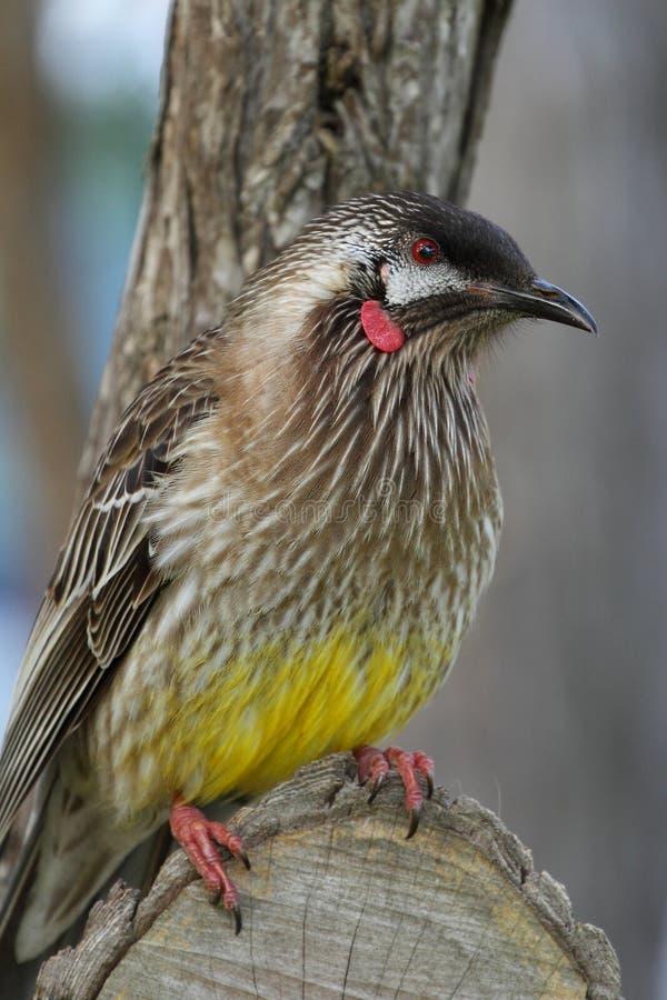 Wattle-pássaro vermelho australiano Honeyeater fotografia de stock