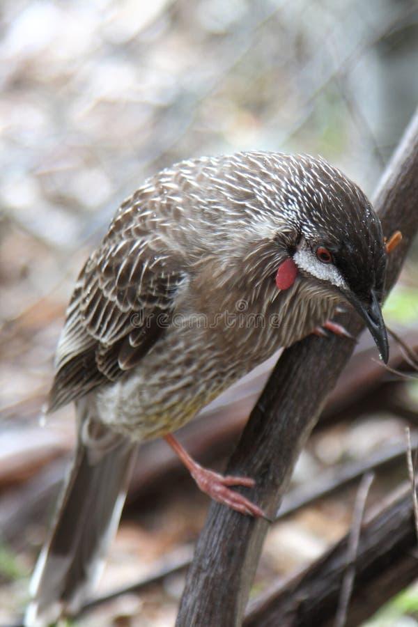 Wattlebird vermelho australiano imagem de stock