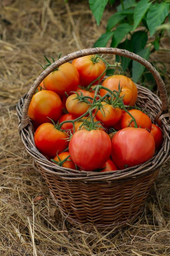 Wattled篮子充满红色成熟蕃茄 秋天收获 免版税库存照片