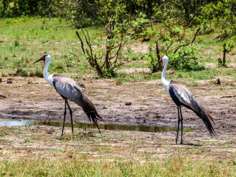 Wattled crane stock images