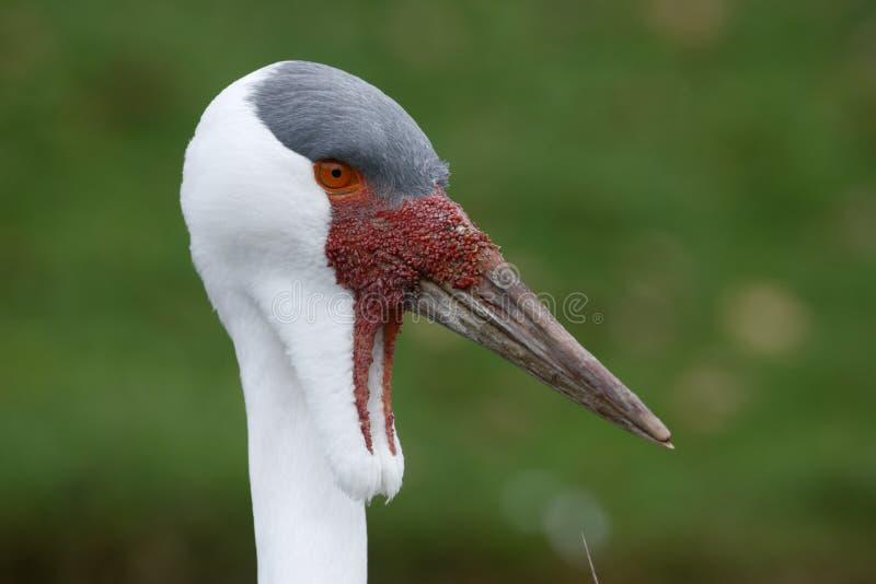 Download Wattled Crane, Grus Carunculatus Stock Image - Image: 34312969