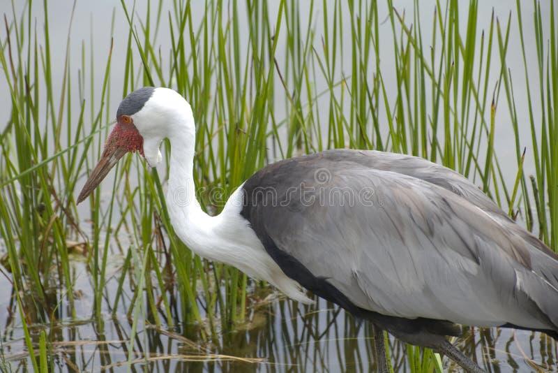 Download Wattled Crane In Natural Wetlands Habitat Stock Image - Image: 10615023