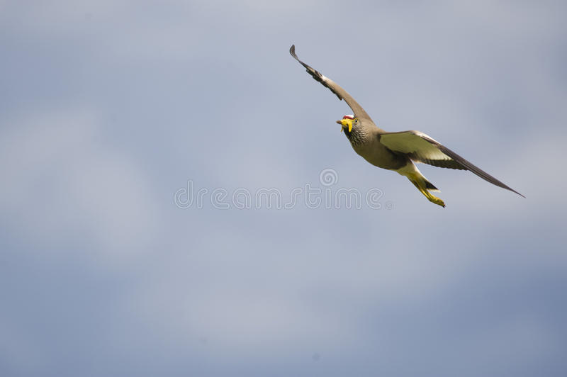 Download Wattled Lapwing In Flight Royalty Free Stock Images - Image: 28246339