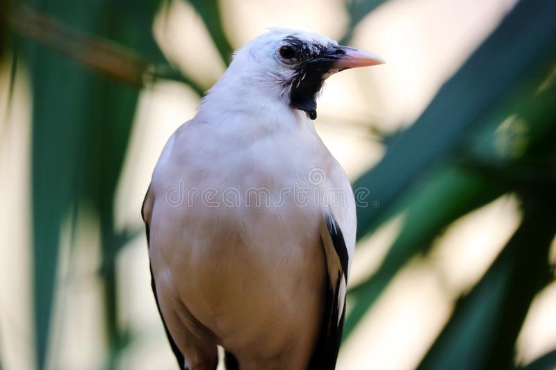 Wattled starling in frontal view in front of green leaves. Wattled starling creatophora cinerea in frontal view in front of green leaves royalty free stock photo