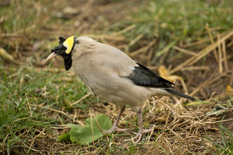 The Wattled starling Creatophora cinerea. The Wattled starling Creatophora cinerea in zoo stock images