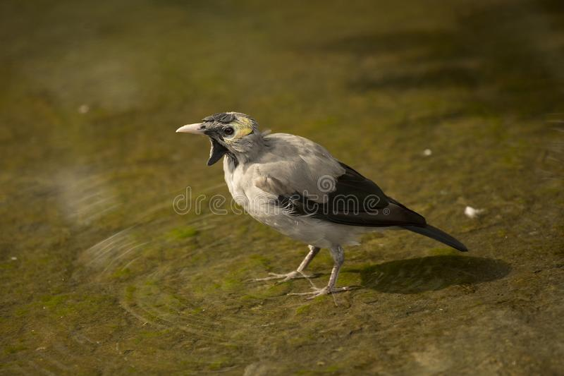 The Wattled starling Creatophora cinerea. The Wattled starling Creatophora cinerea in zoo stock photos