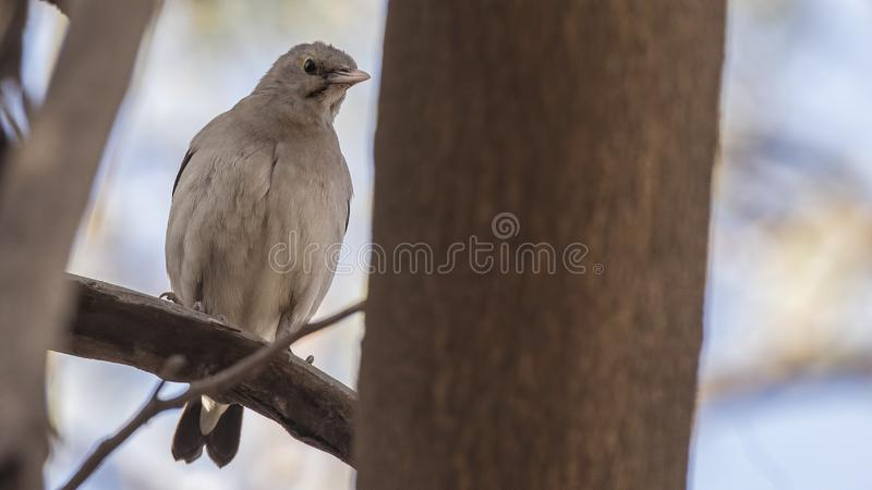 Wattled Starling on Tree. Wattled starling, Creatophora cinerea, perches on tree branch in Ethiopia, Africa royalty free stock photos