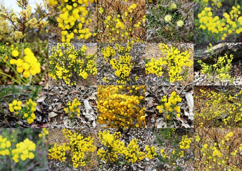 Wattles amarelos macios perfumados de Austrália Ocidental curvada de Dardanup da reserva natural do ribeiro na mola. fotos de stock royalty free