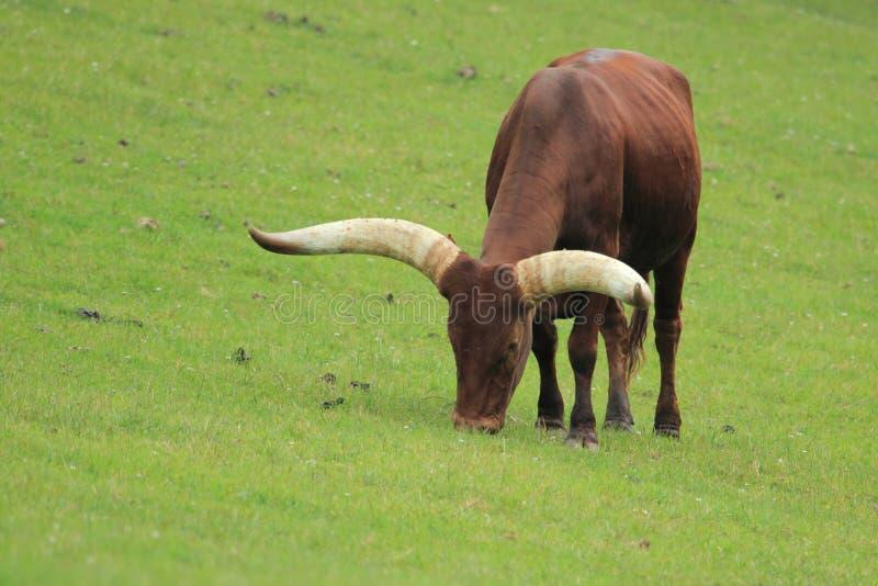 Download Watusi stock photo. Image of grassland, mammal, pasture - 25212356