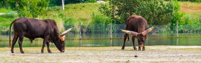 Watusi Ankole, μια αμερικανική διαγώνια φυλή των εσωτερικών βοοειδών με τα ευρέα κέρατα, δημοφιλές σαφάρι και ζώα ζωολογικών κήπω στοκ εικόνες με δικαίωμα ελεύθερης χρήσης