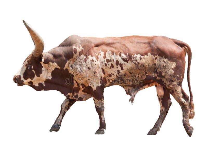 Watusi big ox cow stock image