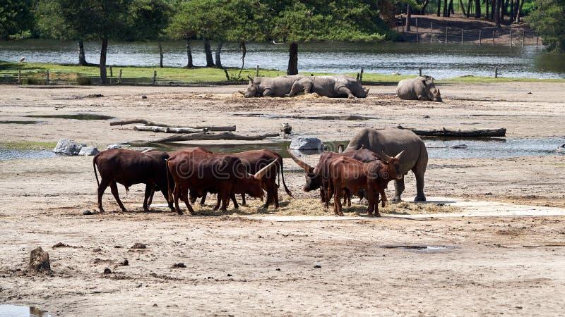 Watusirund en van de rinoceros het leven naast elkaar royalty-vrije stock fotografie