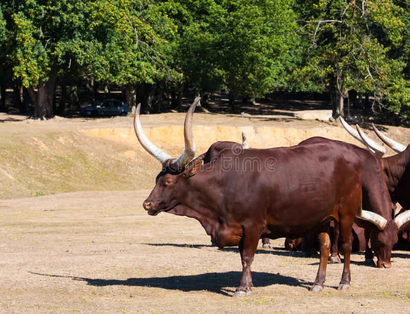 Download Watussi stock photo. Image of brown, mammal, calf, animal - 26744218