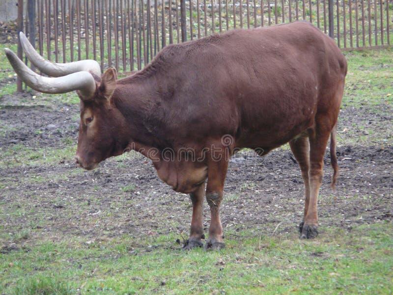 Watussi [Taureau de Bos] dans le ZOO de Wroclaw, Silésie, Pologne image stock