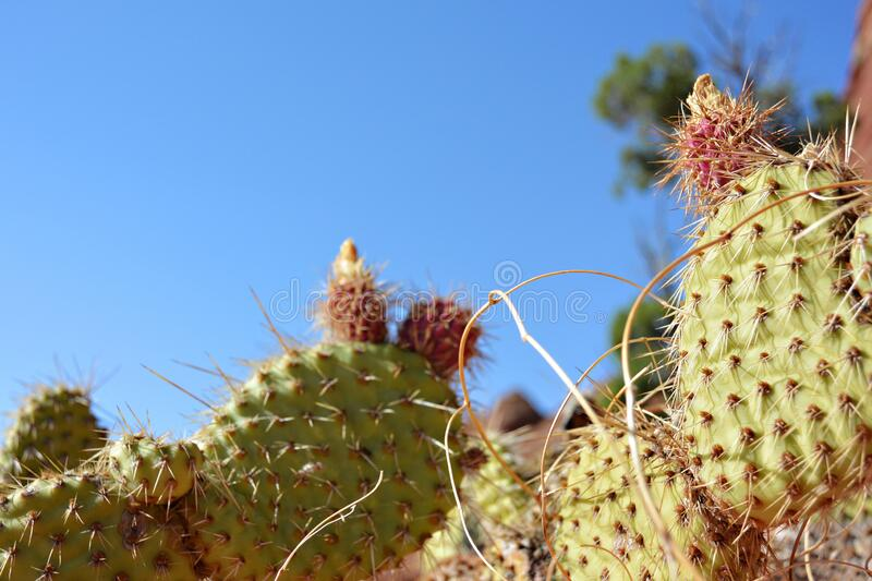 Prickly Pear Cactus Plants stock photography
