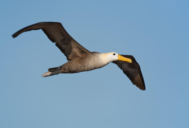 Waved albatross in Galapagos royalty free stock image