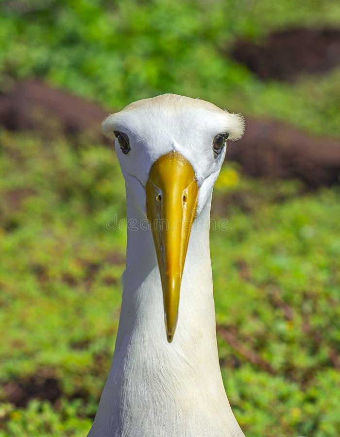 Waved Albatross Portrait, Galapagos, Ecuador stock photography