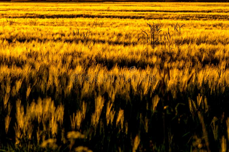 Barley fields in the wind stock images
