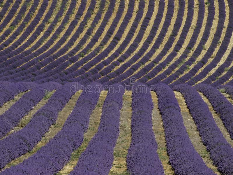 Wavy lavender field in South-France stock photo