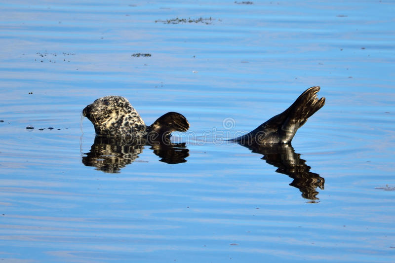 Waving Seal stock photos