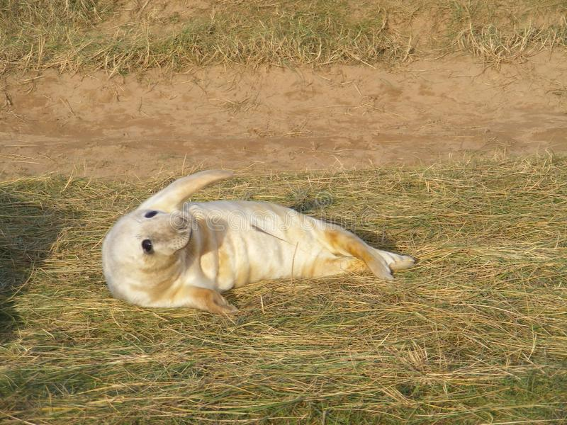 WAVING SEAL PUP LYING ON SIDE royalty free stock photo