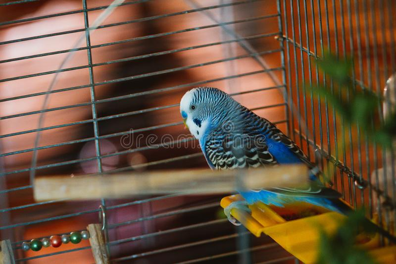 Wavy blue parrot in a close-up cage stock photos