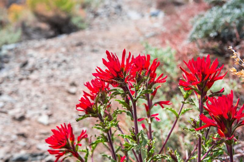 Wavy leaf paintbrush (Castilleja applegatei) blooming on the side of a hiking trail in the mountains of Death Valley National Park royalty free stock photos