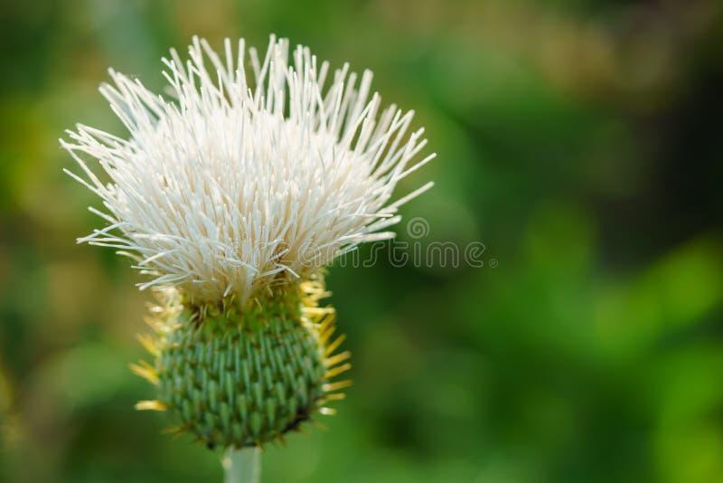 Wavy-leaf thistle - Cirsium undulatum. Closeup of a Kansas wildflower called the wavy-leaf thistle or Cirsium undulatum. Image taken on June 24, 2017 royalty free stock image