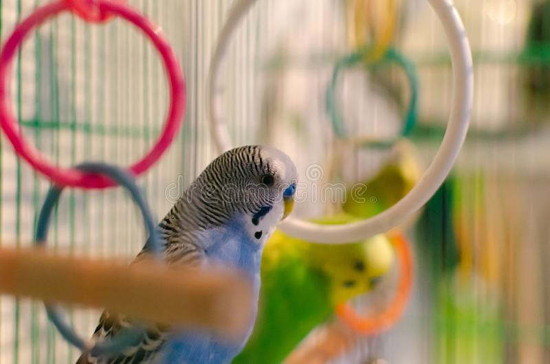 Wavy parrots in a cage. stock photography